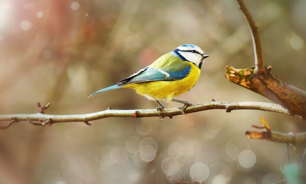 Sikora modra, fot. Krzysztof Niewolny, Pixabay