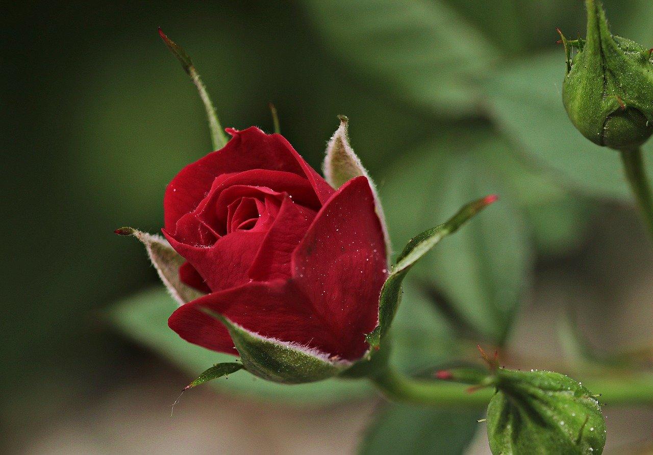 Róża, Pixabay