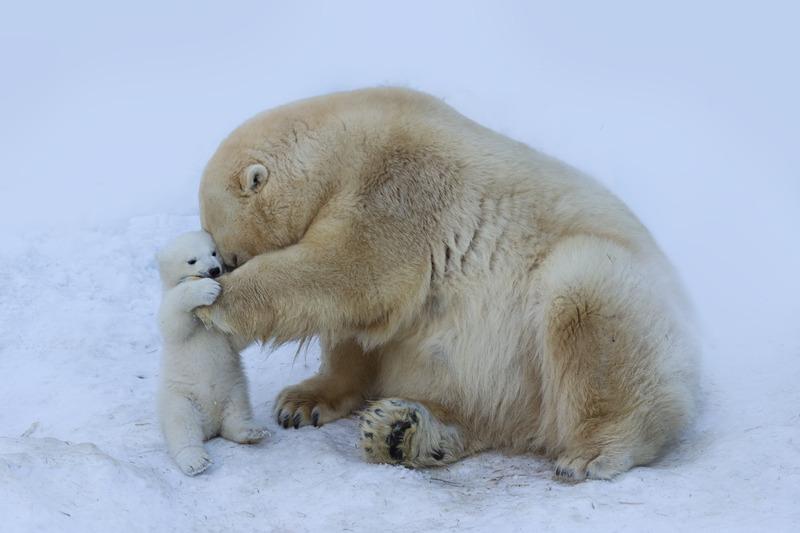 Niedźwiedź polarny z mamą